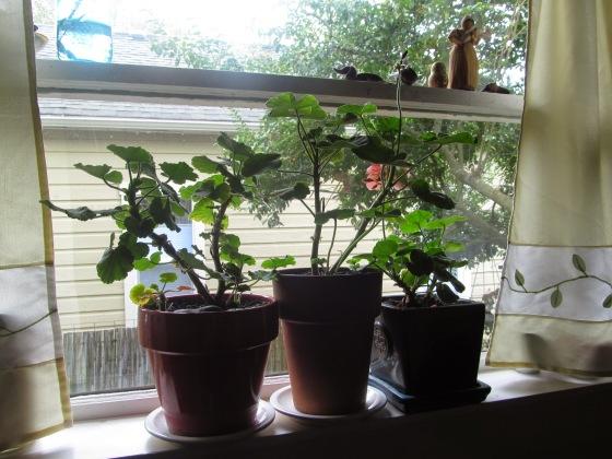Winter Geraniums